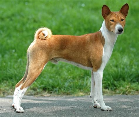 What Dogs Do Not Shed Hair by Basenji Dog Pictures Diet Breeding Life Cycle Facts