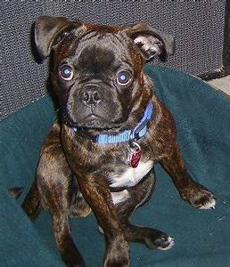Bugg Dog (Boston Terrier-Pug Mix) Info, Temperament ...