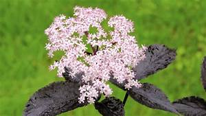 Holunder Black Beauty : rotbl ttriger holunder als nutz und zierpflanze im garten ~ Frokenaadalensverden.com Haus und Dekorationen