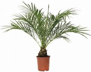 Palmen Kaufen Baumarkt : zwerg dattelpalme floraself phoenix roebelenii 14er topf bei hornbach kaufen ~ Orissabook.com Haus und Dekorationen