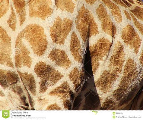 natural patterns giraffe stock photo image  giraffe