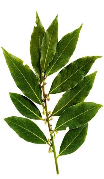 cuisine hardy bay leaf bay laurel tree