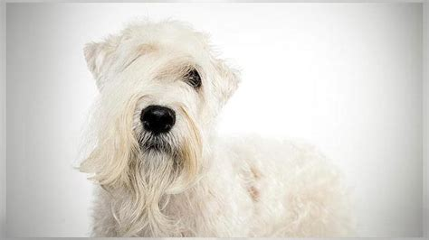 soft coated wheaten terrier dogs  animal planet