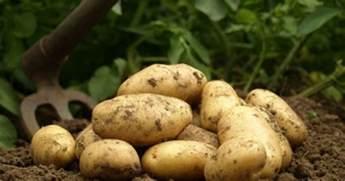 les pommes de terre primeur et les pommes de terre