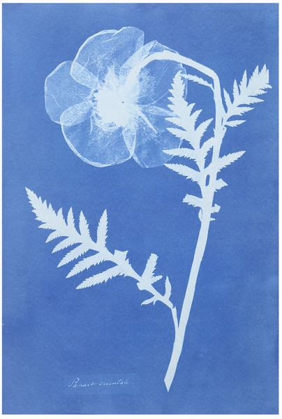 papaver orientale atkins anna va search  collections