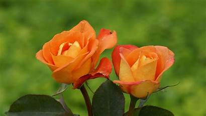 Roses Orange Flowers Wallpapers Rose Yellow Sweet