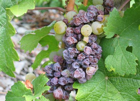 https://www.evineyardapp.com/blog/2015/11/27/gray-mold-of-grape-botrytis-cinerea-pers/