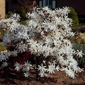 Magnolie Im Topf : sternmagnolie magnolia stellata wei bl hend magnolia ~ Lizthompson.info Haus und Dekorationen