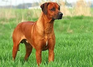 Rhodesian Ridgeback - Ekevu od Křemence - Stud dog ...