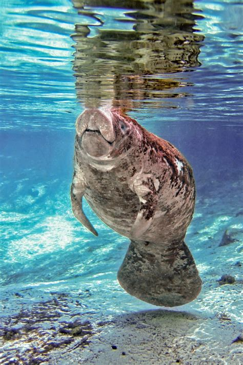 Lazy Morning Underwater World Manatee Sea Cow Water
