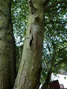 Schädlinge Am Kirschbaum : rinde platzt am baum auf der gartenratgeber ~ Lizthompson.info Haus und Dekorationen