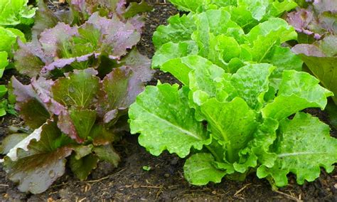 Growing Lettuce In Fall North Carolina Cooperative Extension
