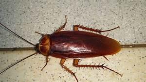 Cafard De Jardin Comment S En Débarrasser : les cafards ou blattes nuisibles dans les habitations comment lutter ~ Mglfilm.com Idées de Décoration