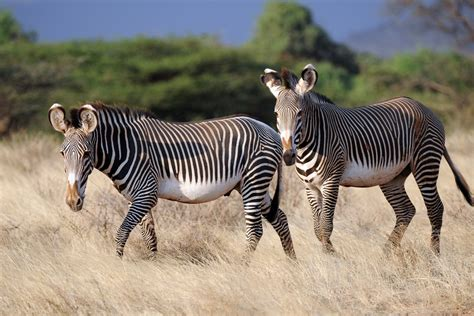 Zebra Animal Wallpaper - zebra 4k ultra hd wallpaper and background image