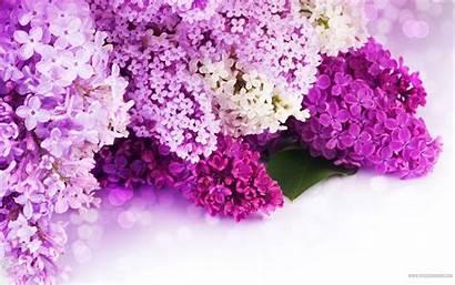 Lilac Wallpapers Purple Desktop