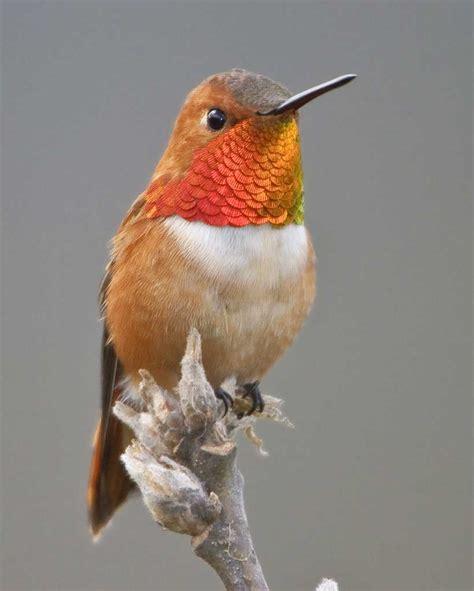 rufous hummingbird audubon field guide