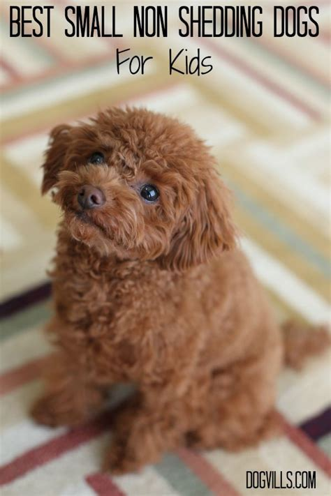 Non Shedding Hypoallergenic Small Dogs by Best Small Non Shedding Dogs For