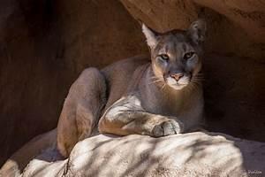 Cougar Wallpaper - WallpaperSafari