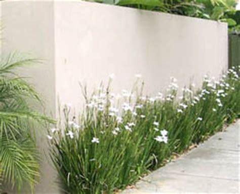 butterfly grass dietes   plants garden supplies