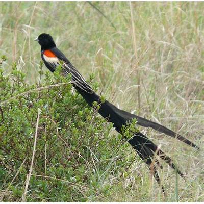 Long-tailed widowbird – Female choice selects for extreme