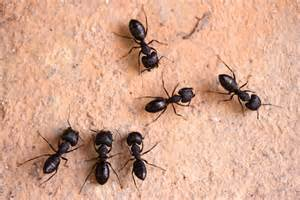 How to Control Carpenter Ants