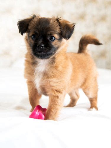 pekingese chihuahua mix shedding 12 chihuahua cross breeds you to see to believe