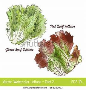 Lettuce Stock Images, Royalty-Free Images & Vectors ...