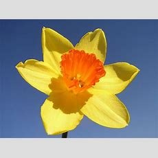 Daffodils Herald Arrival Of Spring  Jewish Federation Of Greater New Haven