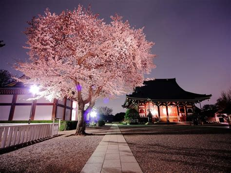 Cherry Blossom Flower Trees Latest Hd Wallpaper Pictures