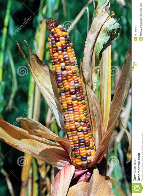 indian corn ear stock photo image  season fuel husk