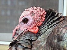 Turkey Close Up