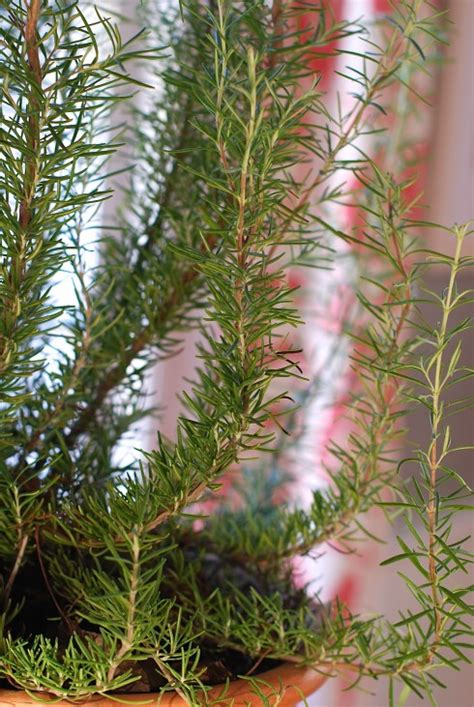 rosemary plant care how to care for rosemary indoors