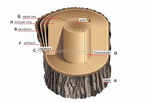 1 Cross Section Of Tree Trunk  A Bark