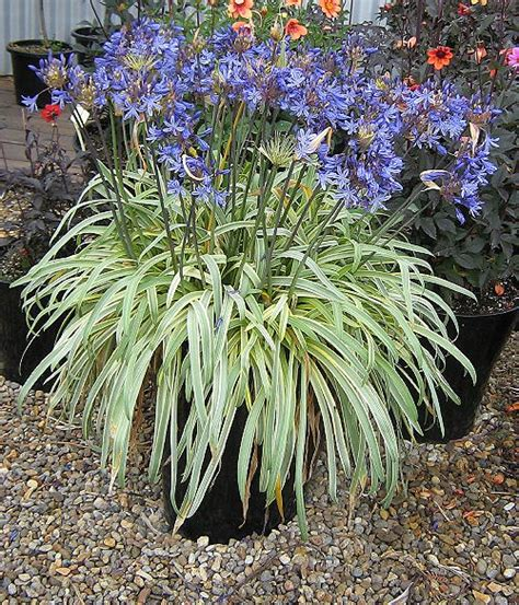 agapanthus variegated new agapanthus gold strike 174 variegated leaves garden perennial plant ebay