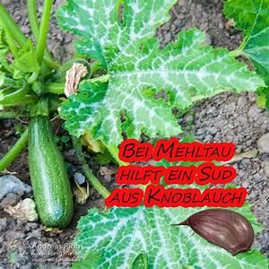 Mittel Gegen Mehltau : mehltau zucchini zucchini anbau und pflege wichtige tipps ~ Michelbontemps.com Haus und Dekorationen