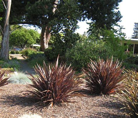 new zealand flax new zealand flax purple phormium tenax purpureum evergreen growers