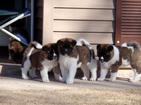 Do American Akitas Shed by 100 Do Akitas Shed Bad 100 Do American Akitas Shed