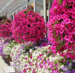 Pflanzen Die Nicht Viel Licht Brauchen : balkonblumen balkonpflanzen richtig berwintern ~ Markanthonyermac.com Haus und Dekorationen