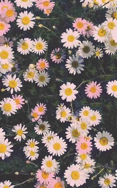 Iphone Floral Daisies Background Pixelstalk