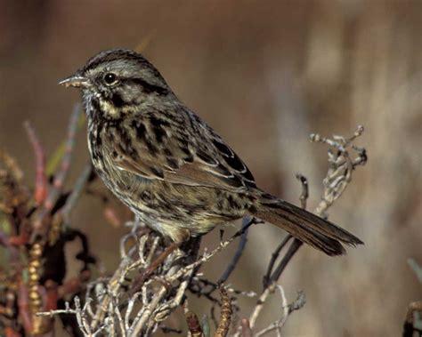 song sparrow audubon field guide