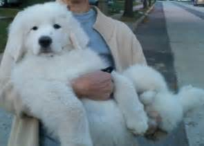 great pyrenees puppy cute pics pinterest pyrenees