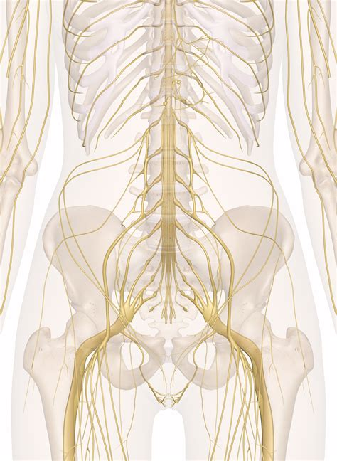 Pain in your hip joint. Nerves of the Abdomen, Lower Back and Pelvis