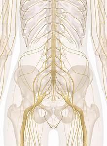 Nerves Of The Abdomen  Lower Back And Pelvis