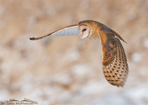 Barn Owls And Their Many Nicknames