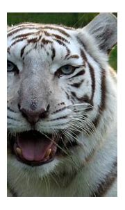 White Tigers - Get The FACTS! | Big Cat Rescue