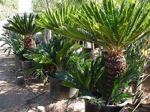 We buy cycads and cycad collections