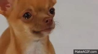 Crying Dog Meme - perrito chihuahua llorando muy tierno dog crying on make a gif