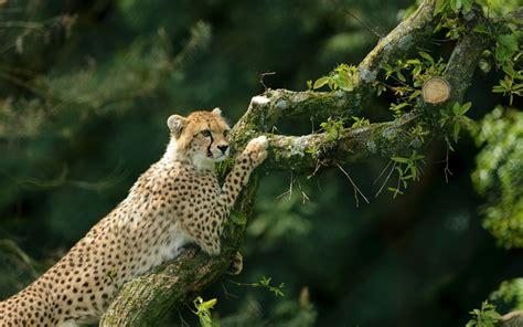 wallpaper cheetah hd animals
