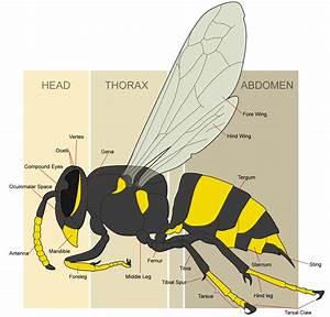 File Wasp Morphology Png