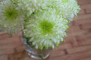 white and green dahlia flower free image
